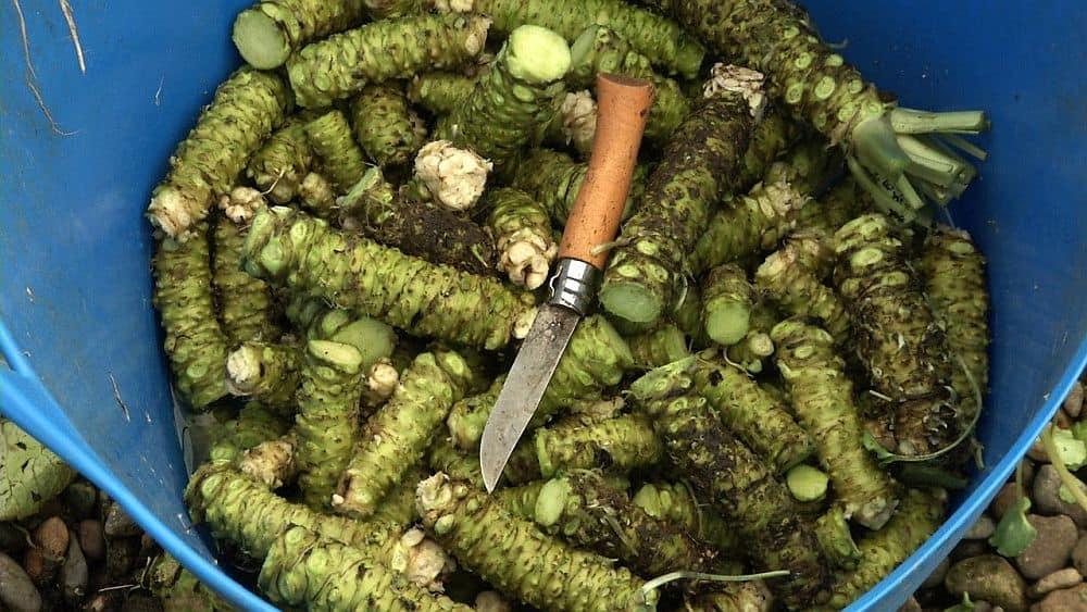 Wasabi, plantă din familia hreanului