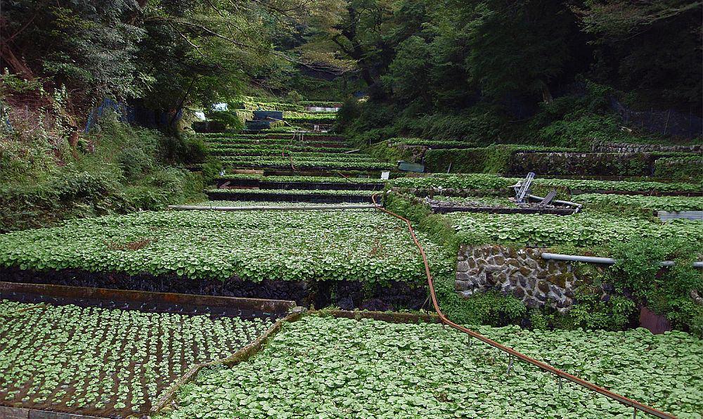 Culturi de wasabi