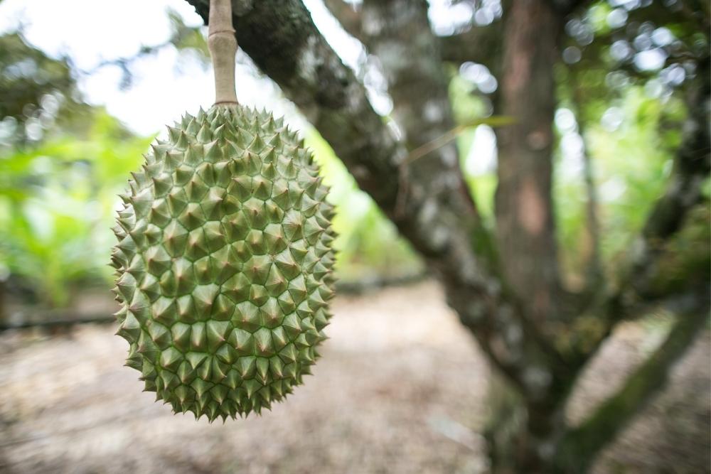 copac durian